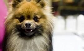 ברוצלוזיס אצל כלבים