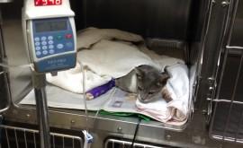 חתולה מאושפזת עם דלקת חריפב של הלבלב