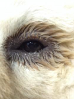 אנטרופיון בכלב