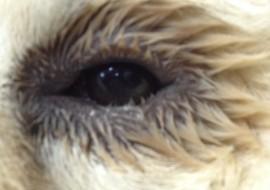 אנטרופיון בכלבים