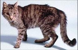 היפרתירואידיזם חתול