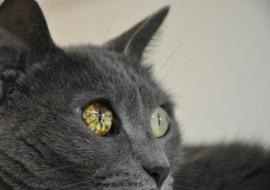 מלנומה בעין בחתול
