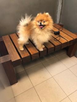נשירת שיער אצל כלב פומרניין
